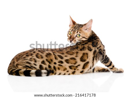 Bengal cat looks back. isolated on white background - stock photo