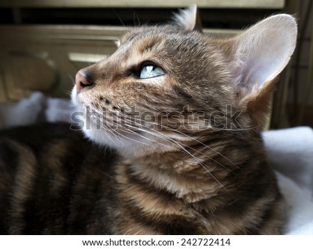 Bengal cat: Marble bengal cat taken at home - stock photo