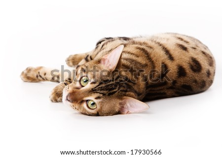 Bengal cat on white background - stock photo