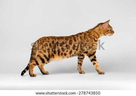 Bengal Cat playful walking on White background  - stock photo