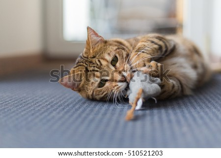 Bengal cat playing in the house with a fluffy mouse. Cute pet chilling.