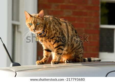 Bengal cat sat on car roof - stock photo