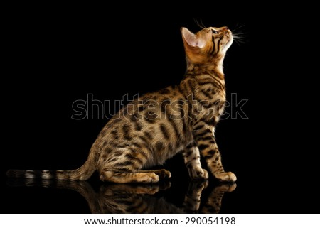 Bengal Cat Sits and Looking Up on Black Background