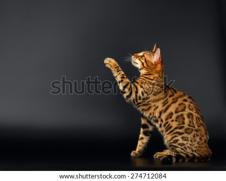 Bengal Cat Sits and Raising up Paw on Black  background  - stock photo