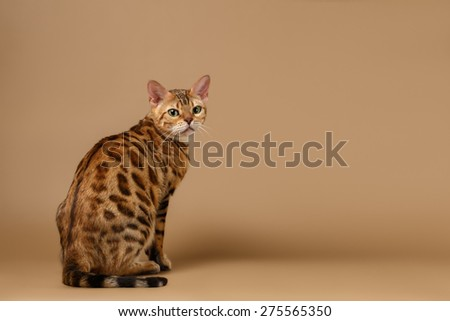 Bengal Cat Sits and Turned back on Brown Background  - stock photo