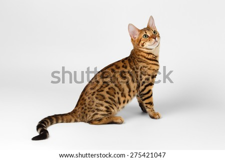 Bengal Cat Sits on White background and Looking up