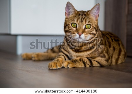 Bengal cat sitting in a room - stock photo