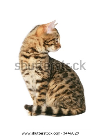 Bengal cat sitting looking back isolated on white
