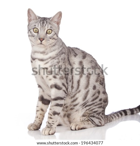 Bengal cat sitting sideways isolated