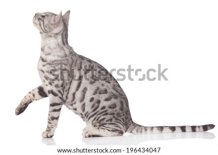 Bengal cat sitting sideways with paw up isolated