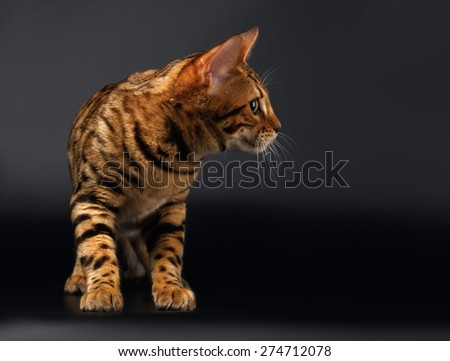Bengal Cat Stads and Looking at Right on Black background  - stock photo