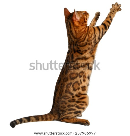 bengal cat stand and raising up paw on white background