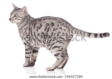 Bengal cat standing sideways