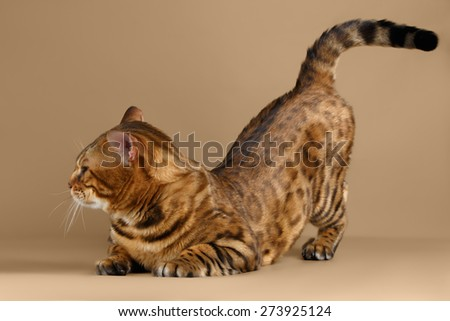 Bengal Cat Stands on Brown background and picked up ass - stock photo
