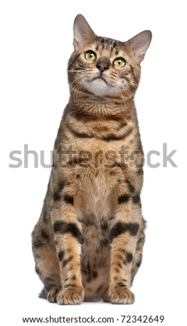 Bengal cat, 1 year old, in front of white background - stock photo