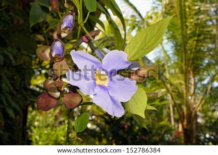 Bengal clock vine or sky flower (Thunbergia grandiflora) with buds - stock photo