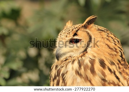 Bengal Eagle Owl - stock photo