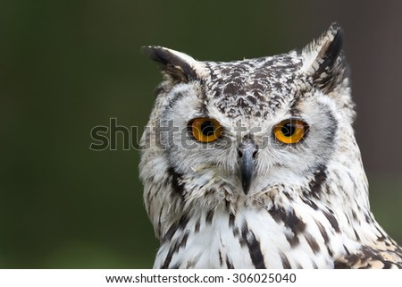 Bengal Eagle owl, Indian Eagle owl head-shot with green background. - stock photo