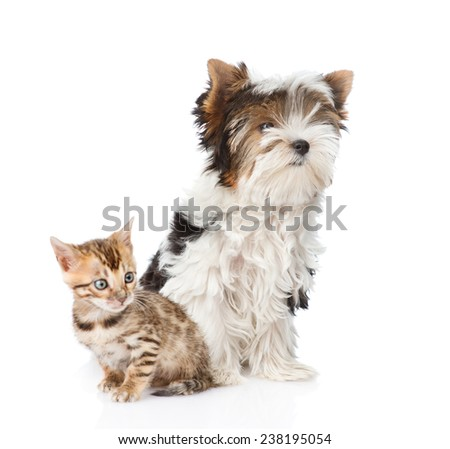 Bengal kitten and Biewer-Yorkshire terrier puppy sitting together. isolated on white background - stock photo