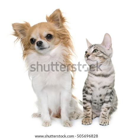 bengal kitten and chihuahua in front of white background