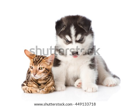 Bengal kitten and Siberian Husky puppy together. isolated on white background