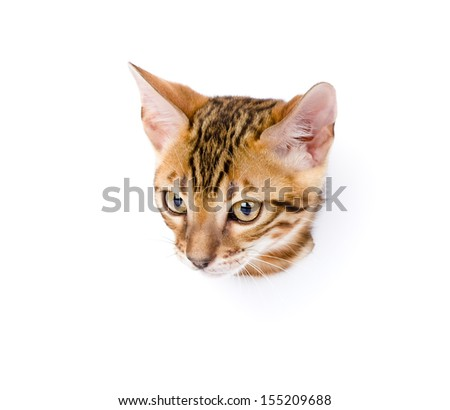 bengal kitten in paper side torn hole. isolated on white background - stock photo