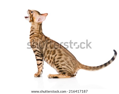 Bengal kitten in profile meowing. isolated on white background