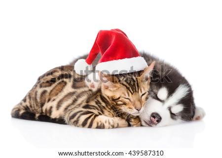 Bengal cat and siberian husky