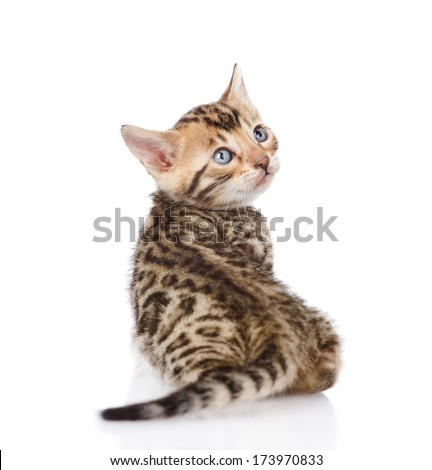 bengal kitten looks back. isolated on white background