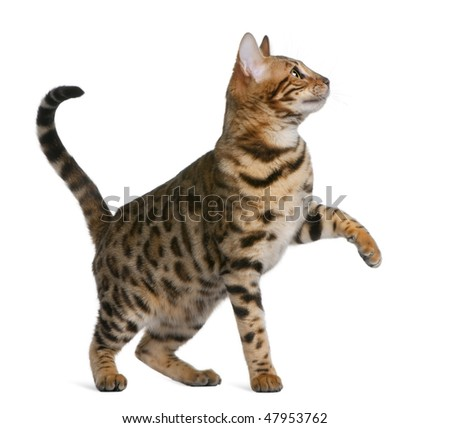 Bengal kitten (7 months) in front of a white background