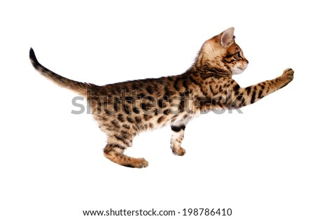 Bengal kitten reaching out paw isolated on background - stock photo