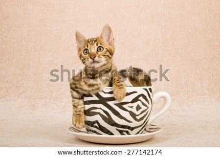 Bengal kitten sitting inside large cup decorated with zebra stripes on beige background