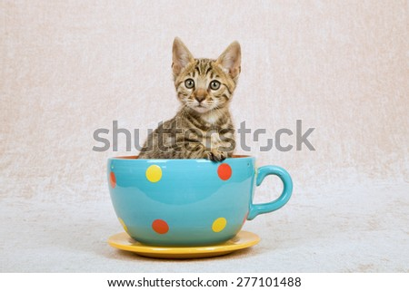 Bengal kitten sitting inside large cup with polka dot design on beige background  - stock photo