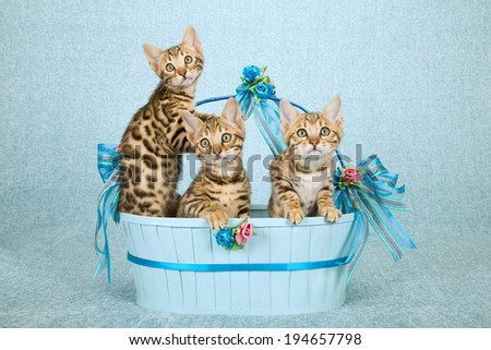 Bengal kittens sitting inside blue basket decorated with bows and ribbons on pale blue background  - stock photo