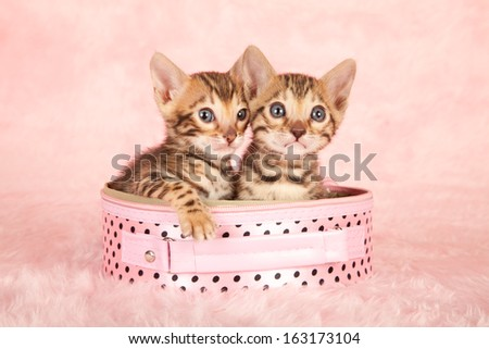 Bengal kittens sitting inside pink bag container on pink fake fur background - stock photo