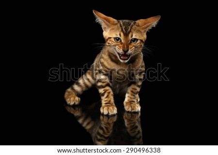 Bengal Kitty Stands and Hissing on Black Background