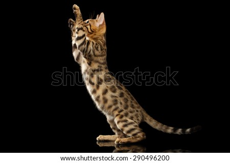 Bengal Kitty Stands and Raising Up Paws on Black Background