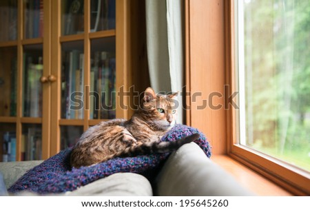 Bengal Mix Cat Relaxing on Indigo Blue Blanket by Large Window Looking Outside - stock photo