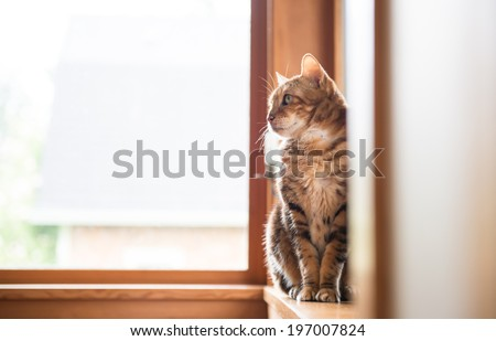 Bengal Mix Cat Relaxing on Large Window - stock photo