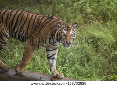 Bengal Tiger - stock photo