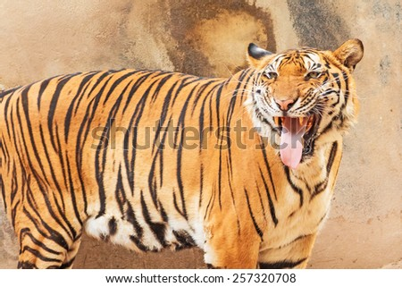 Bengal tiger - stock photo