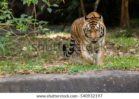 Bengal Tiger beg for no attention...He walks with his great confident... Anyone dares to confront him, think twice!!!