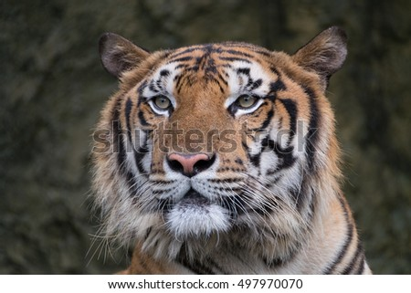 Bengal Tiger face in forest show head