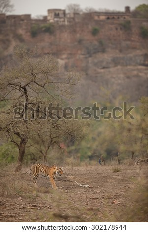 Bengal tiger from India/Tiger and fort/Ranthambhore NP - stock photo