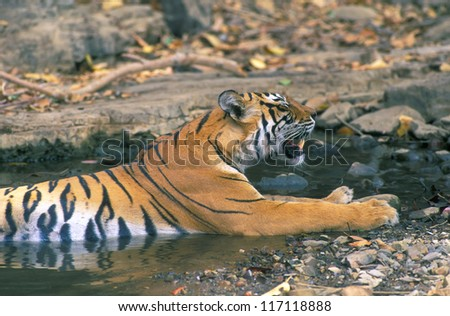 Bengal tiger have a relax in small pond - stock photo