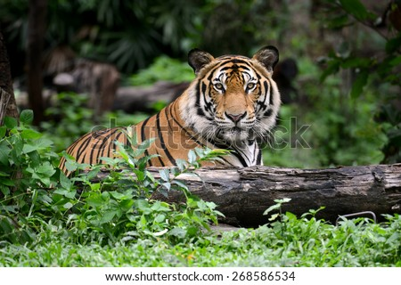 Bengal Tiger head looking direct to camera - stock photo