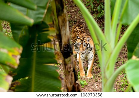 bengal tiger in forest - stock photo