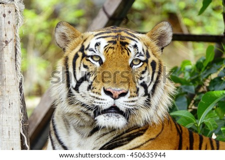 Bengal Tiger in forest,select focus with shallow depth of field.