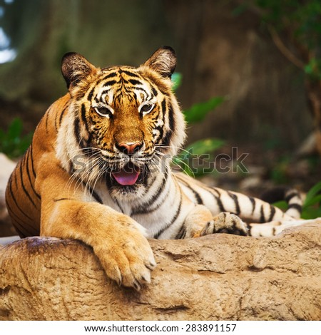 Bengal Tiger in forest show head and leg