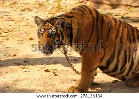 Bengal tiger in Kanchanaburi at Thailand - stock photo